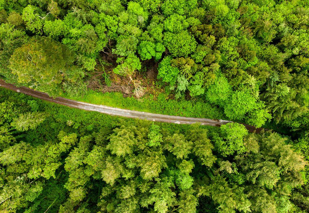 Massive Pine Trees in Killarney-National-Park